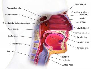 Anatomía respiratorio superior